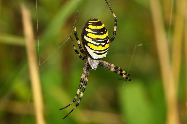 Wasp Spider at Warsash Common in Hampshire