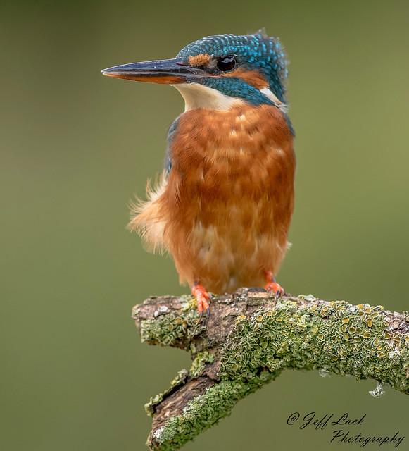 DSC1022  Kingfisher...