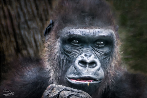 Image of a Gorilla at the Jacksonville Zoo