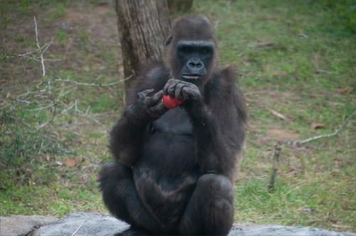 Original image of the gorilla