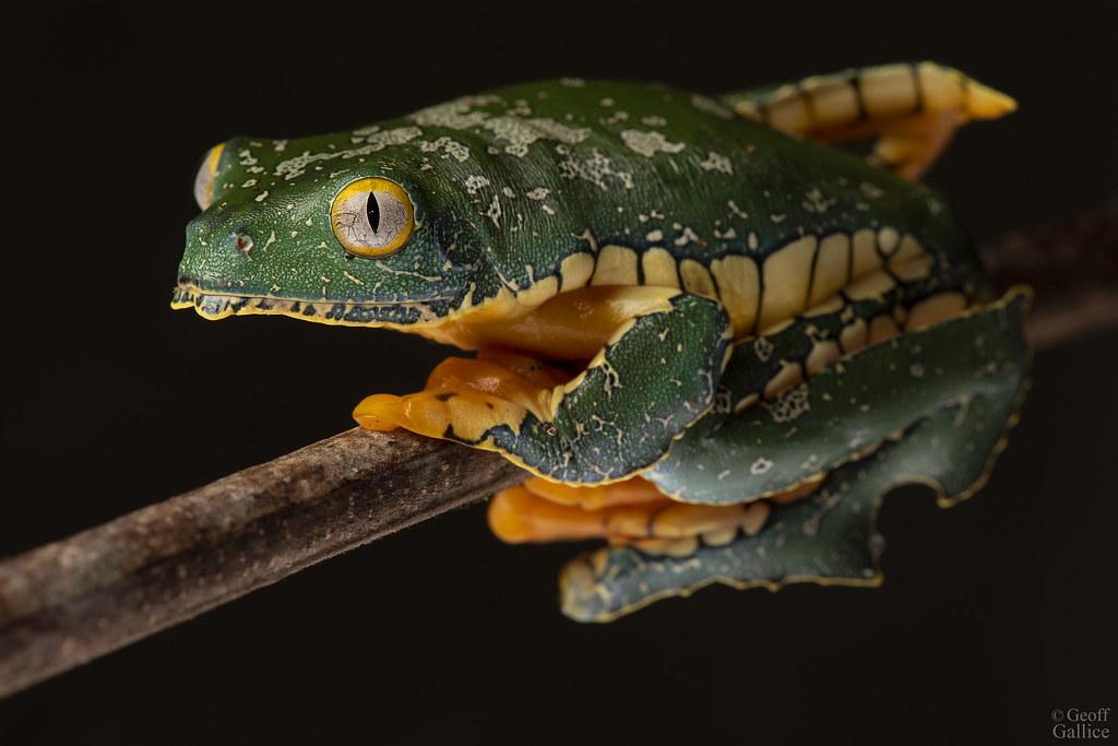 Fringed leaf frog (Cruziohyla craspedopus)