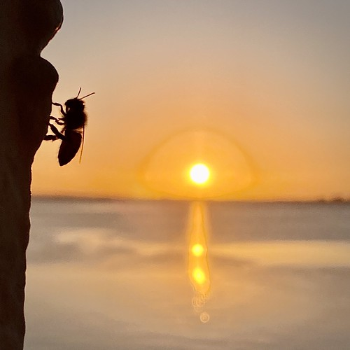 Bee and Sunrise