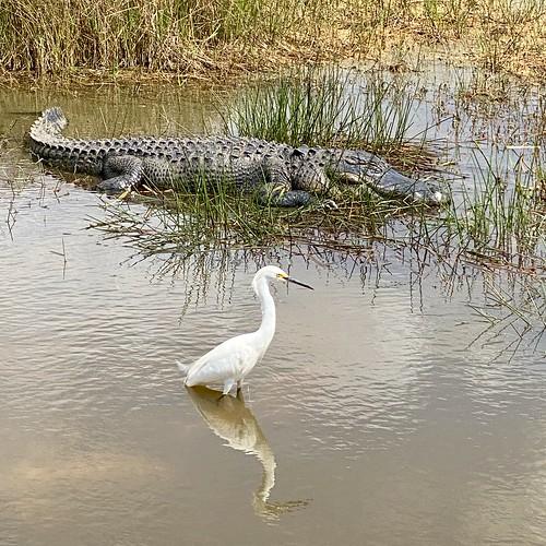 Aligator and Snowy Egret (Egretta thula)