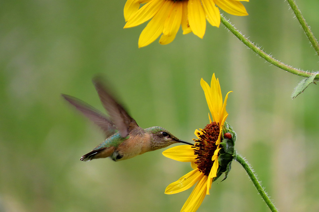 Calliope Hummingbird (Selasphorus calliope) female. Sandia Mountains, New Mexico, USA.