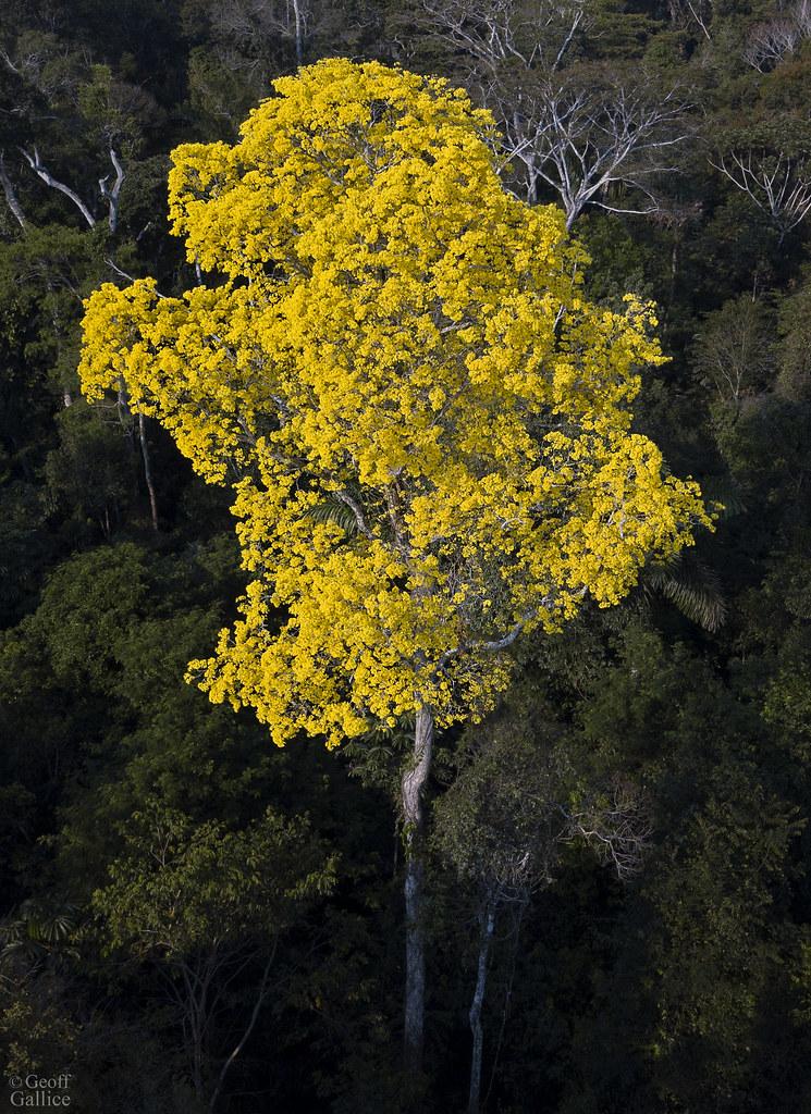 Blooming tahuari tree (Handroanthus serratifolius)