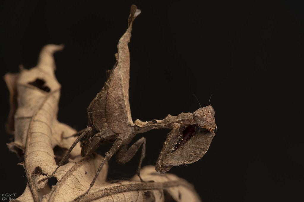 Dead leaf manits