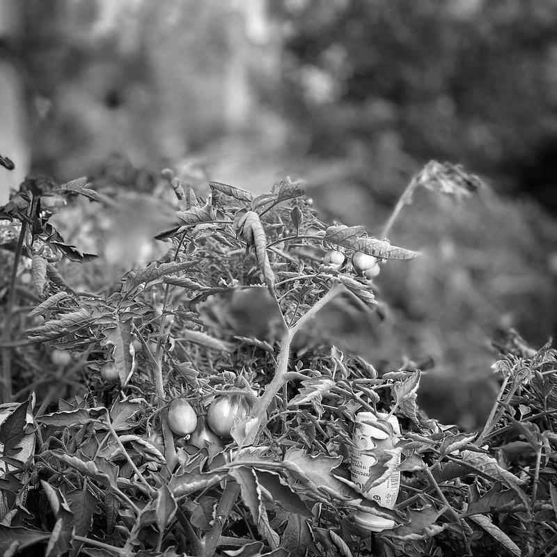 Огород в августе