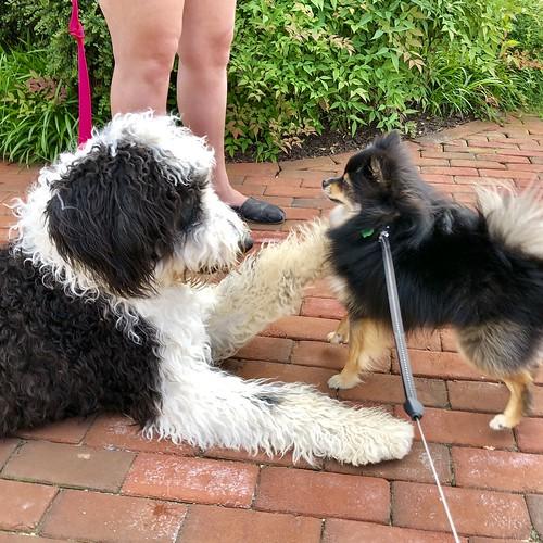 Pomeranian Dog Teddy