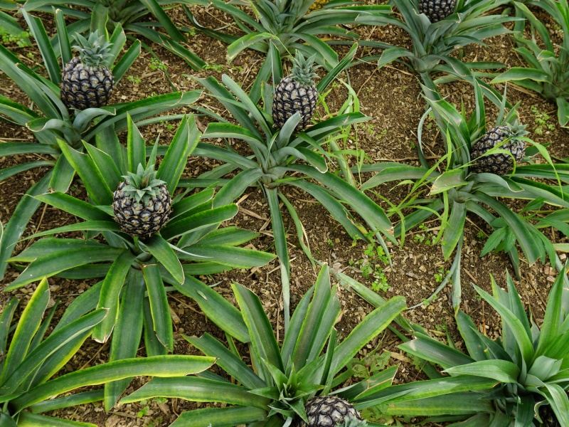 Pineapple Plantation Azores