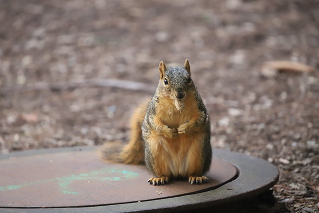 Fox Squirrels in Ann Arbor at the University of Michigan on the first day of Fall Term - August 31st, 2020