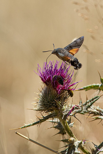 Quelques papillons des Pyrénées