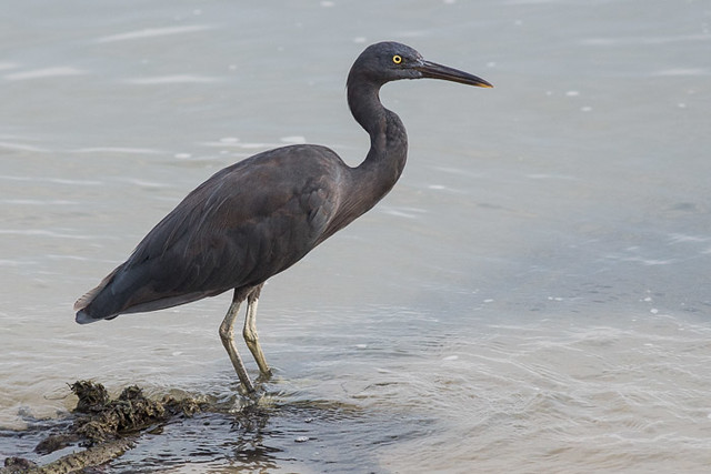 Eastern Reef Egret - dark morph
