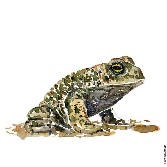 dw00001-Natterjack-toad-sitting-watercolour-by-frits-ahlefeldt-strandtudse-illustration