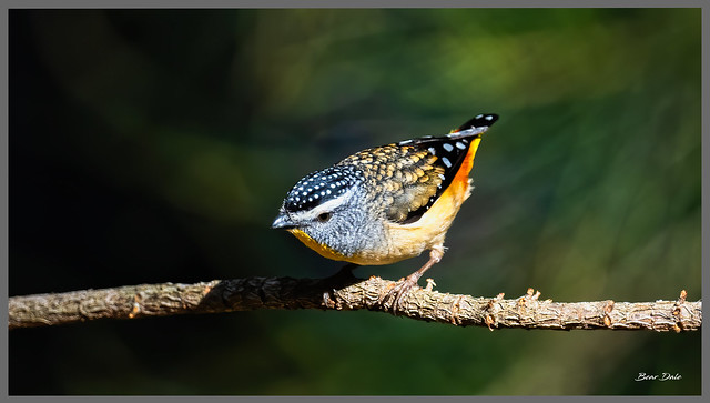 A Lake Conjola Spotted pardalote