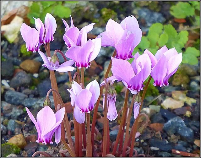Cyclamen Plant ..