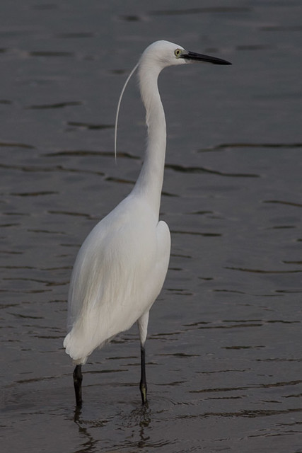 Little Egret  - breeding adult