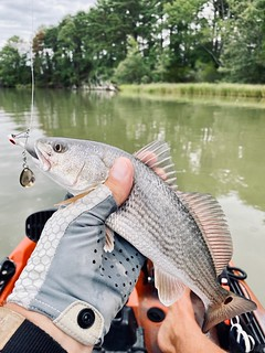 Photo of red drum in fisherman's hand
