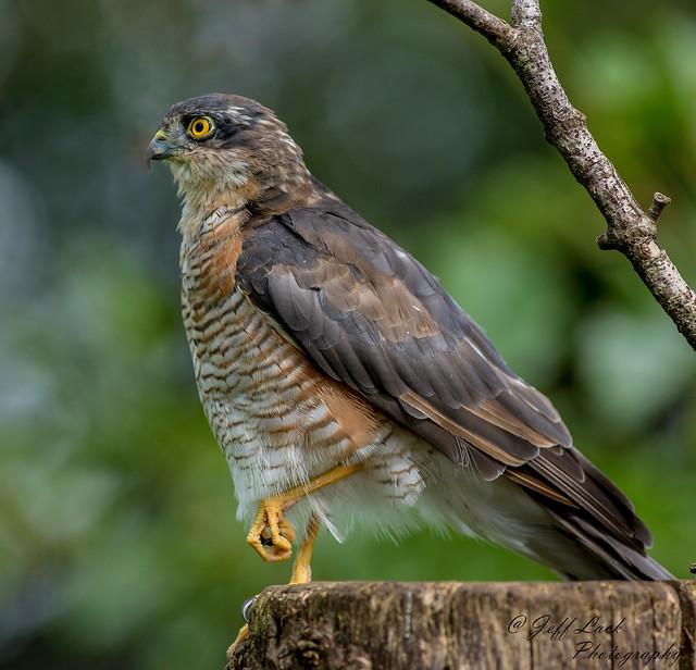 DSC1593  Sparrowhawk...