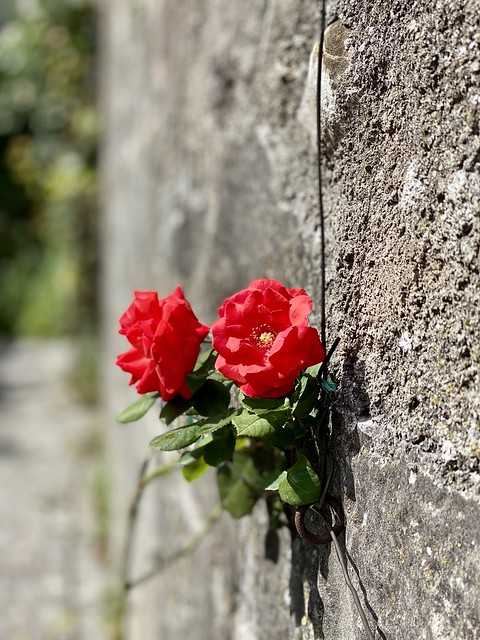 Lindau (Bodensee) - Red roses from the beach at the Gerberschanze