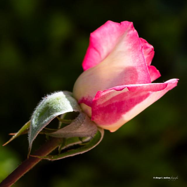 Nueva rosa