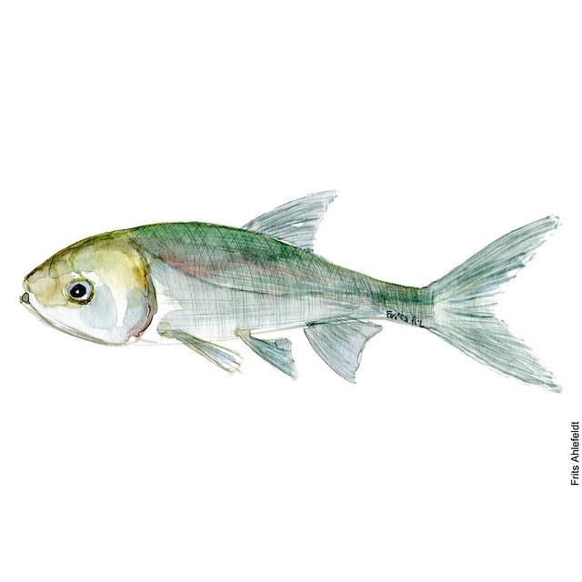 dw00037-freshwater-fish-silver-carp-karpe-watercolor-by-frits-ahlefeldt