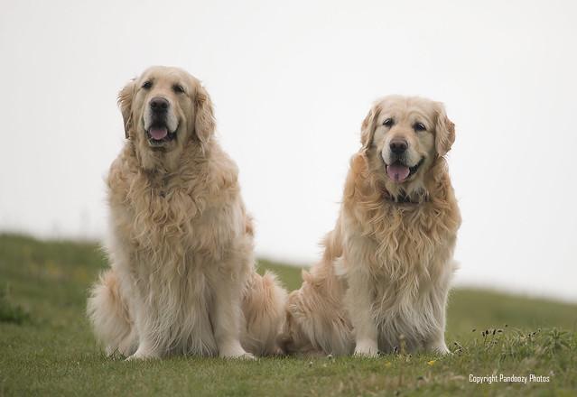 Golden Retrievers-Canis lupus familiaris.
