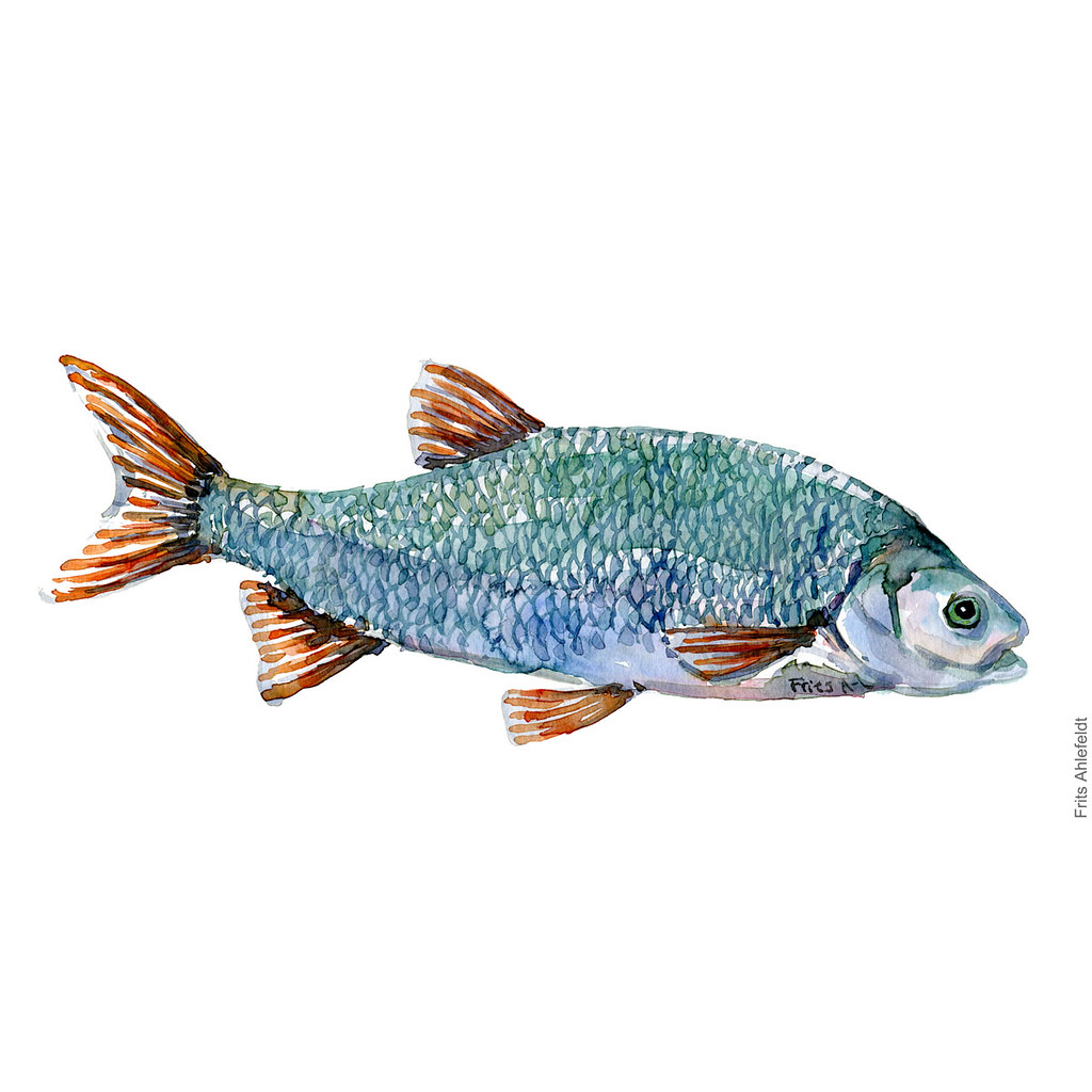 dw00060-freshwater-fish-ide-orfe-rimte-watercolor-akvarel-by-frits-ahlefeldt