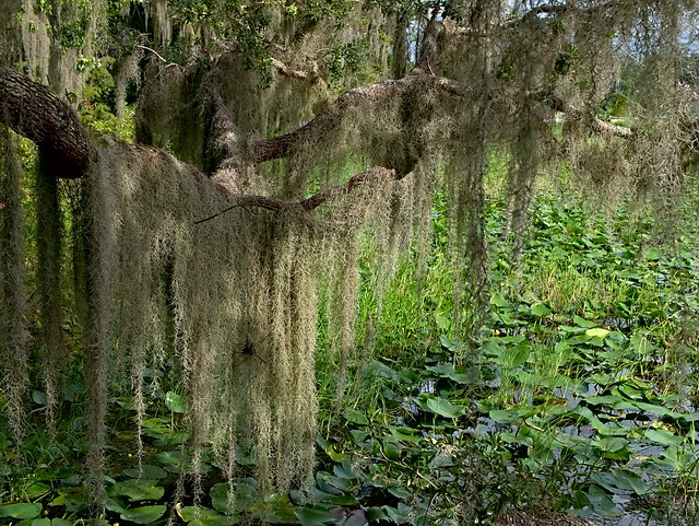 Spanish moss and Lily pads