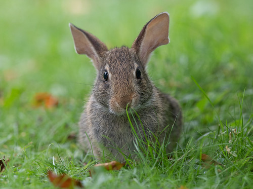 "Eastern Cottontail ""Baby Big-Ears"""