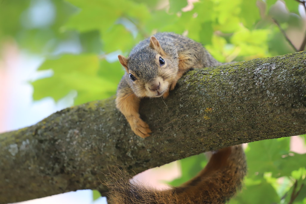 Fox Squirrels in Ann Arbor at the University of Michigan on the 2nd day of Fall Term - 245/2020 82/P365Year13 4465/P365all-time (September 1, 2020)