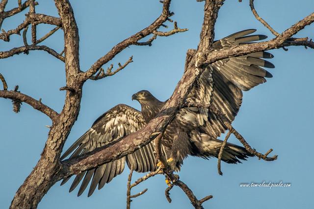 Branching Juvenile Eagle
