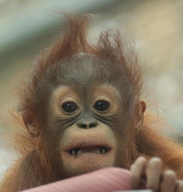 Borneo orangutan Minggu Ouwehand BB2A1273
