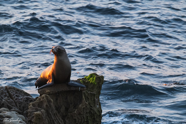 Seal on the lookout