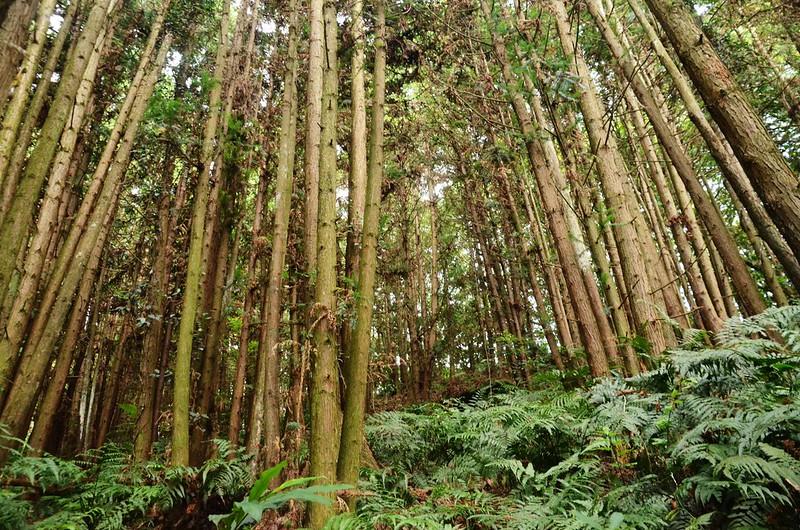 西橫龍山杉木林