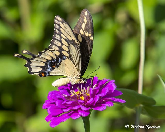 Giant Swallowtail  13