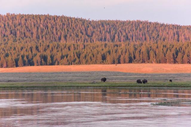 American Bison in Hayden Valley III