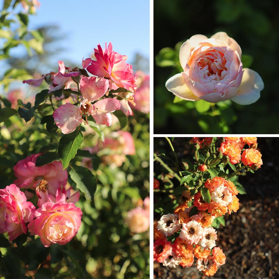 Rose-Garden-at-Huntington-Botanical-Gardens-2