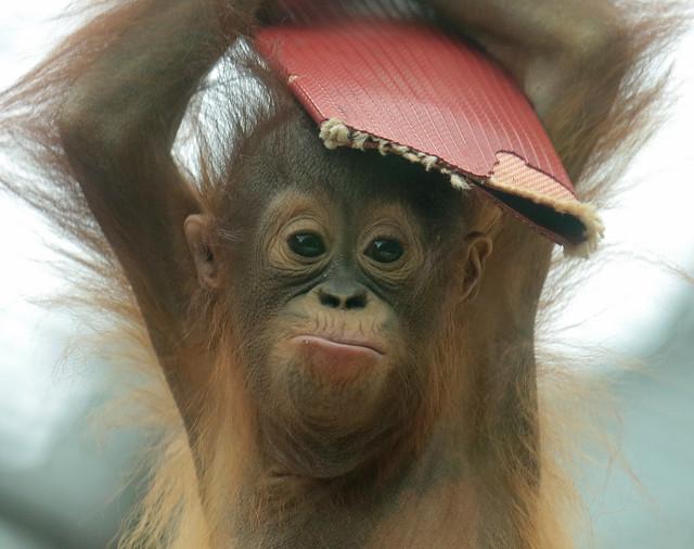 Borneo orangutan Minggu Ouwehand BB2A1328
