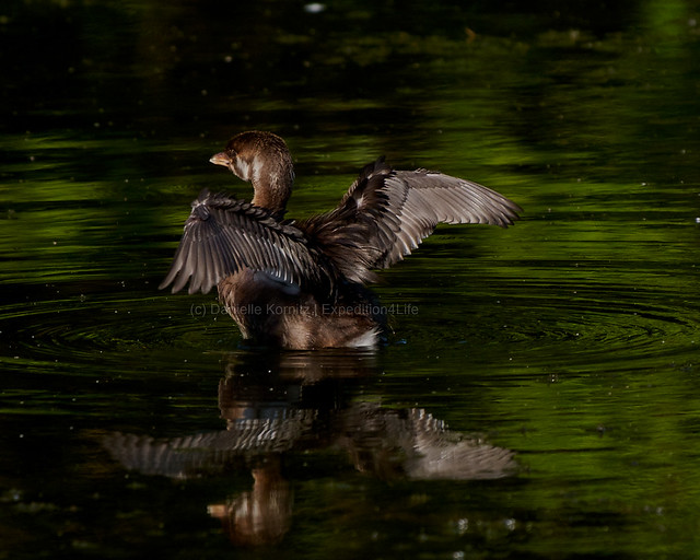 20200821_HBP_E4L04048_Pie-Billed Grebe