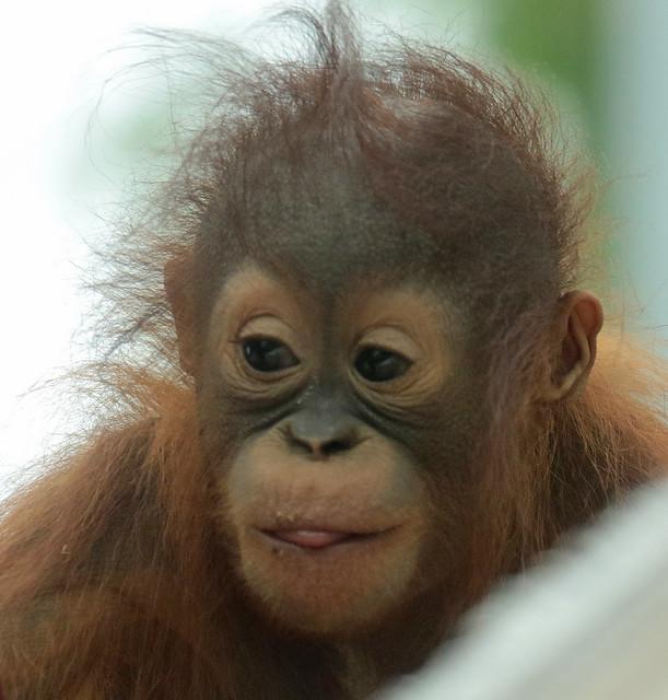Borneo orangutan Minggu Ouwehand BB2A1305