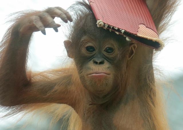 Borneo orangutan Minggu Ouwehand BB2A1329