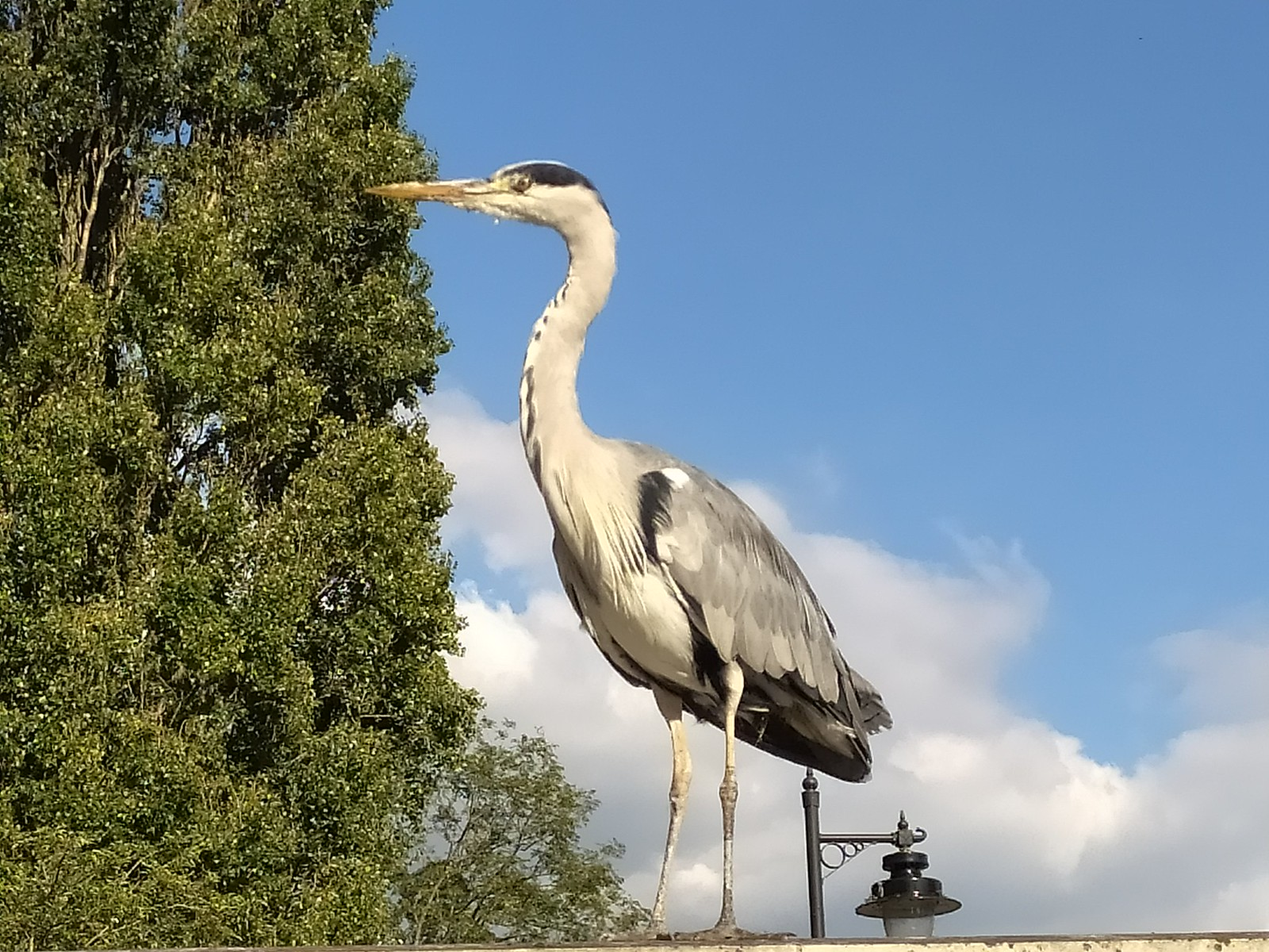 Tame heron by Carshalton Pond