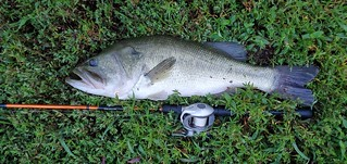 Photo of largemouth bass on the grass