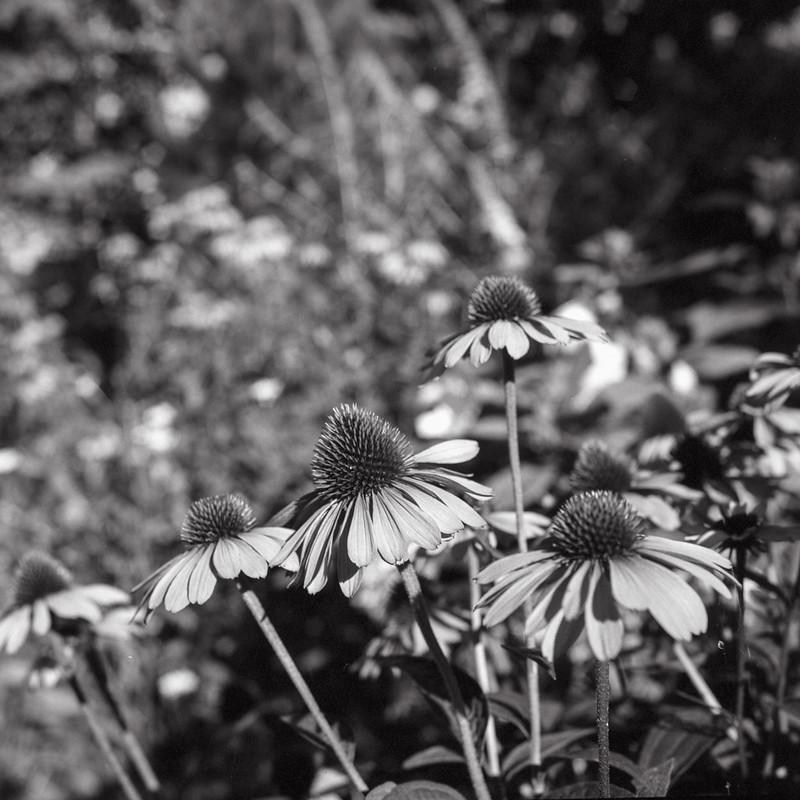Kew Gardens Cone Flowers_