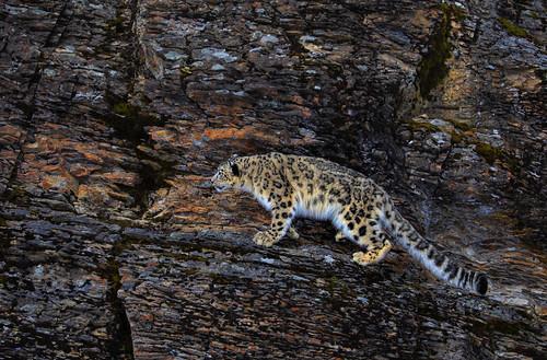 Snow leopard climbing rocky mountain