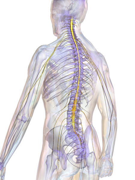 https://commons.wikimedia.org/wiki/File:Blausen_0822_SpinalCord.png