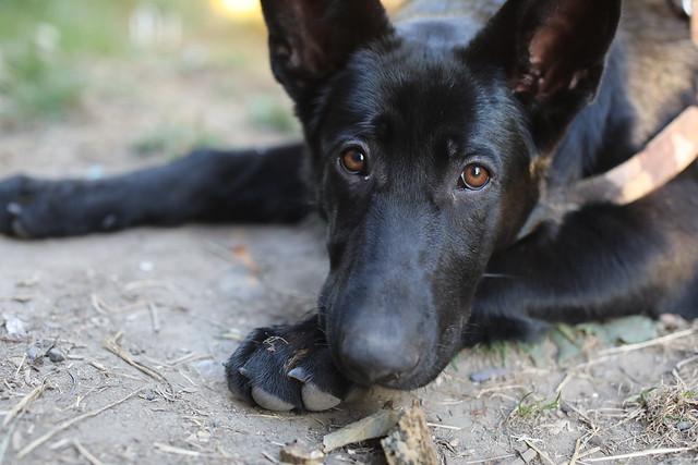 Soya year 1 Dog German Shepard