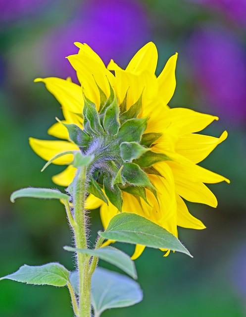 Shun flower