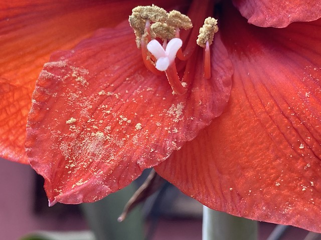 Hippeastrum 'Merry Christmas' at home.