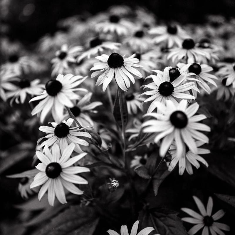 Kew Gardens Monochrome Black Eyed Susans